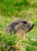 Marmotte de montagne qui sort de son terrier