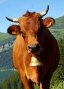 Vache tarentaise en alpage
