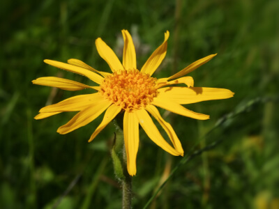 Fleur d'arnica, la plante des bobos