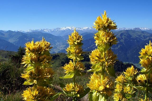 fleurs des alpes les fleurs sauvages de nos montagnes. Black Bedroom Furniture Sets. Home Design Ideas