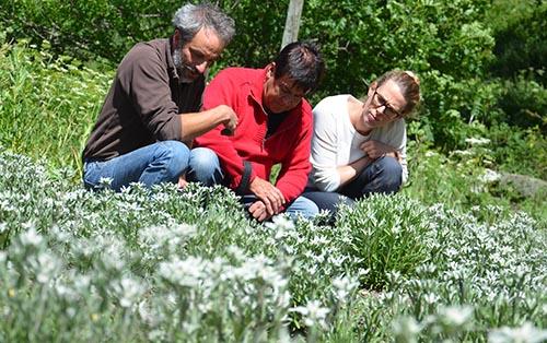 Culture d'edelweiss