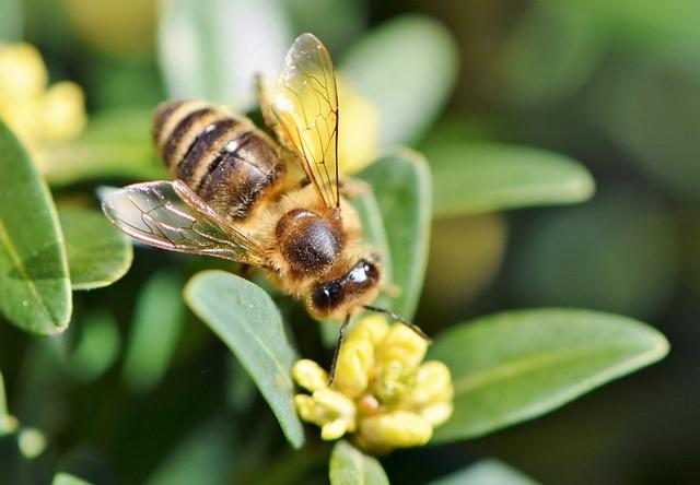 Abeille butinant et pollenisation